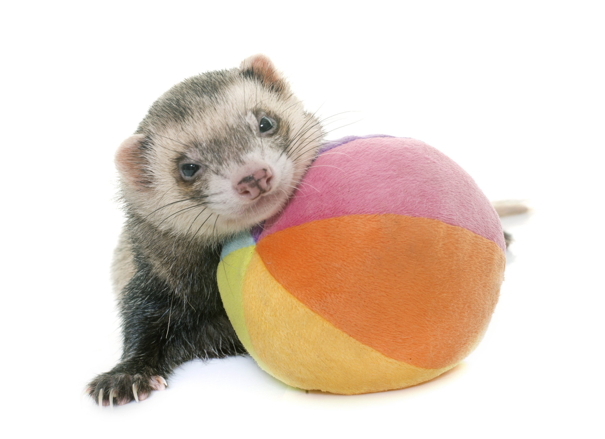 Low Maintenance Pets Ferret